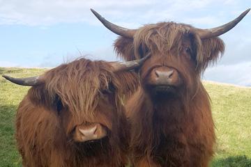 Morven and Mhairi - Arnbeg Farmstay's resident Highland coos!